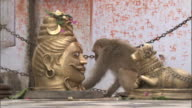 Rhesus macaque eats offerings in temple next to Hindu statues, Bateshwar Available in HD.