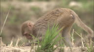 Rhesus macaque eats wheat in field, Chopta, India Available in HD.