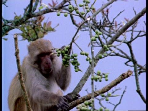 CU Rhesus macaque in tree feeding, India