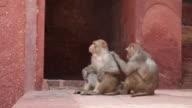 MS Rhesus Macaque monkeys grooming at Agra Fort / Agra, Uttar Pradesh, India