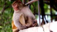 Rhesus makaak apen