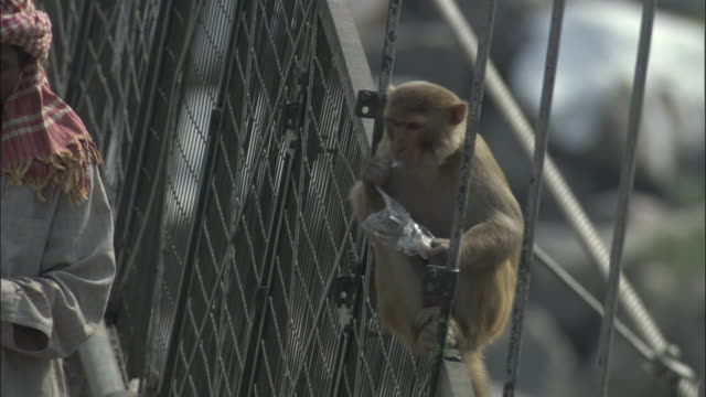 Rhesus macaque on bridge chewing plastic bag, Rishikesh, India Available in HD.