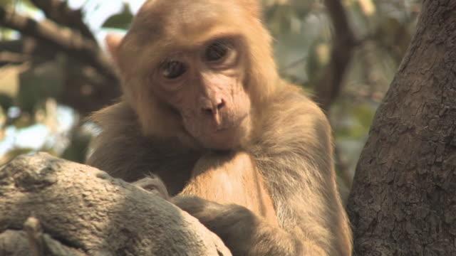 CU, Rhesus macaque (Macaca mulatta) on tree, Varanasi, Uttar Pradesh, India