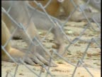 Rhesus macaque picking at food on the floor of cage in monkey sanctuary India