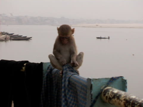 ZI, MS, Rhesus Macaque (Macaca mulatta) playing on railing with clothes, River Ganges in background, Varanasi, India, HA