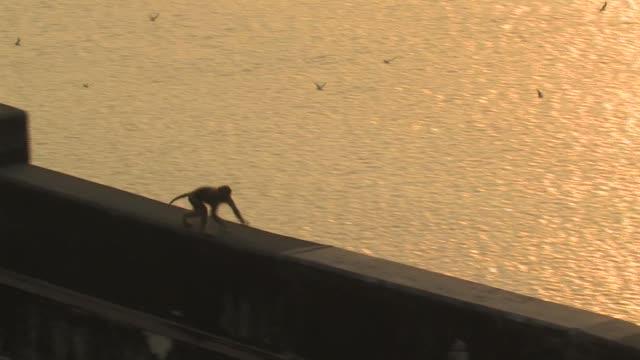 HA, TS, Rhesus macaque (Macaca mulatta) running on wall, Ganges River in background, Varanasi, Uttar Pradesh, India