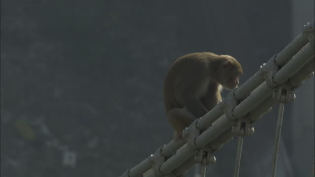 Rhesus macaque sits on bridge cable, Rishikesh, India Available in HD.