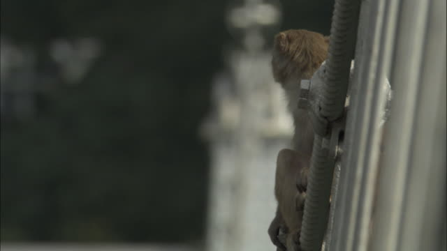 Rhesus macaque sits on bridge cables, Rishikesh, India Available in HD.