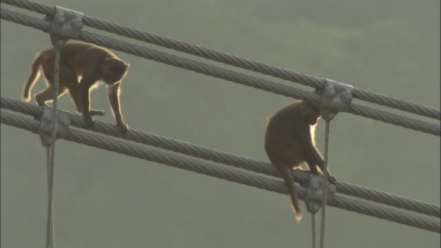 Rhesus macaque walks down bridge cable, Rishikesh, India Available in HD.