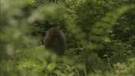 Rhesus macaque walks through greenery, Chopta, India Available in HD.