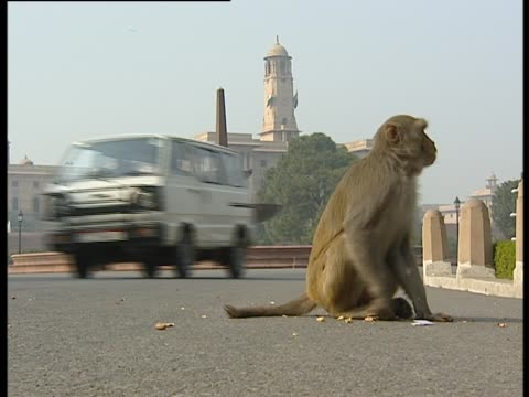 Rhesus macaque wandering around roadside as vehicles pass by