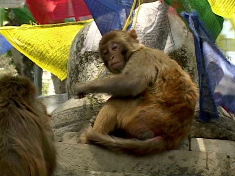 CU, Rhesus Macaques (Macaca mulatta) at temple, Buddhist prayer flags in background, Katmandu, Katmandu Valley, Nepal