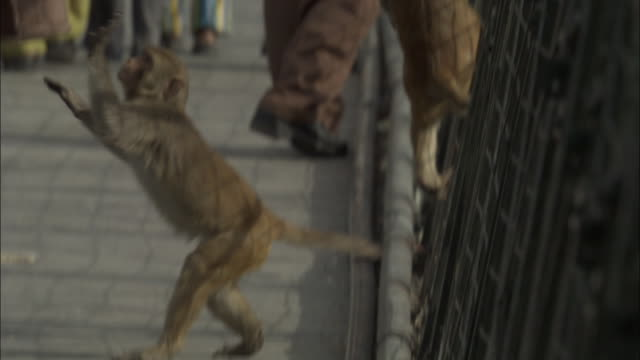 Rhesus macaques beg from people on bridge, Rishikesh, India Available in HD.