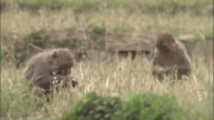 Rhesus macaques eat wheat in field, Chopta, India Available in HD.