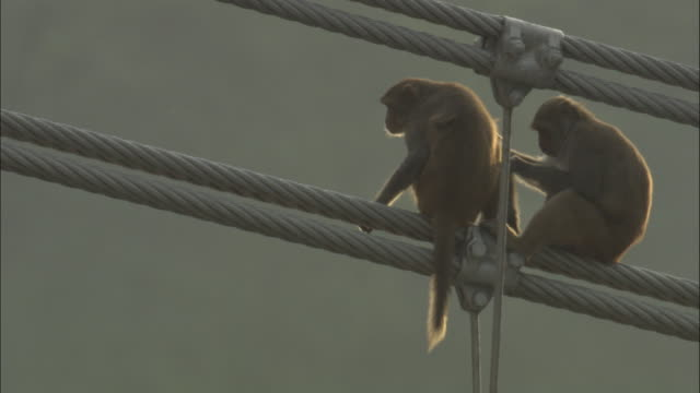 Rhesus macaques groom on bridge cable, Rishikesh, India Available in HD.