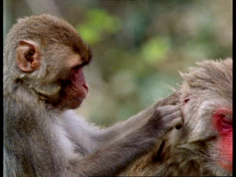 CU 2 Rhesus macaques grooming each other, India