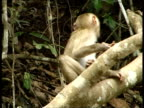 Rhesus monkey, Macaca mulatta, mating in tree, Thailand