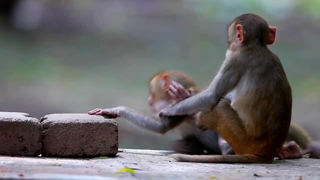 Scimmia Rhesus
