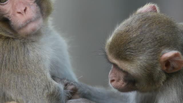 Rhesus Scimmie