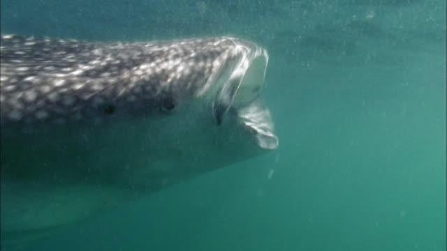 Rhincodon Typus - Whale shark