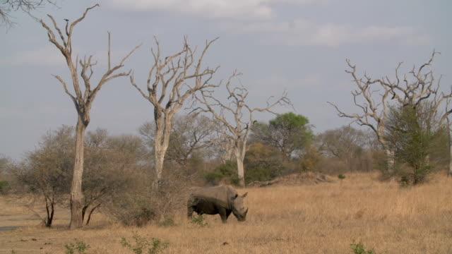 Rhino amongst Leadwood trees/ South Africa