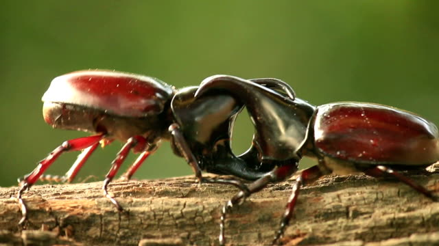 Rhino beetle,Fighting in nature