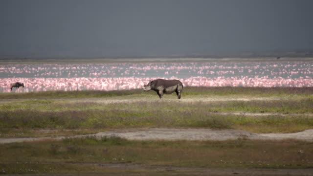 Rhino in the savannah