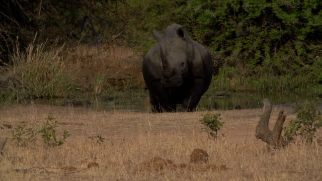 Rhino walking out of waterhole/ South Africa