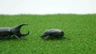 Rhinoceros beetle bug.