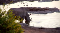 LS Rhinoceros Drinking From Waterhole