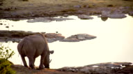 LS Rhinoceros Drinking Water