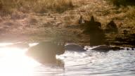 LS Rhinoceros Grooming