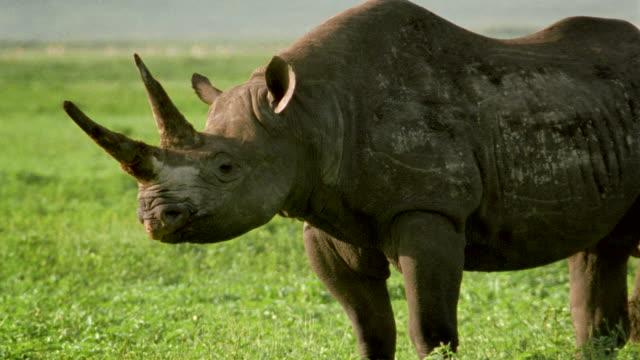 MS Rhinoceros on grassland / Tanzania