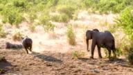 LS ZO Rhinoceros Running From Elephant