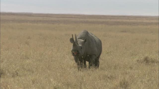 A rhinoceros stands in scrub grass on a savanna.