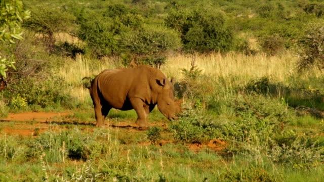 WS PAN Rhinoceros walking amongst shrubbery/ South Africa
