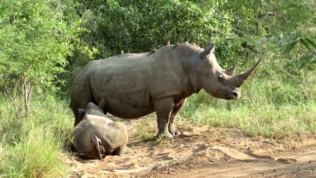 Rhinos in Kruger Wildlife Reserve