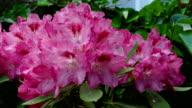 Rhododendron (genus Rhododendron)