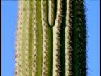 Ribbed and spined stem of saguaro cactus, Arizona