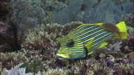 Ribbon sweetlips and cleaner wrasse on coral reef, West Papua, Indonesia