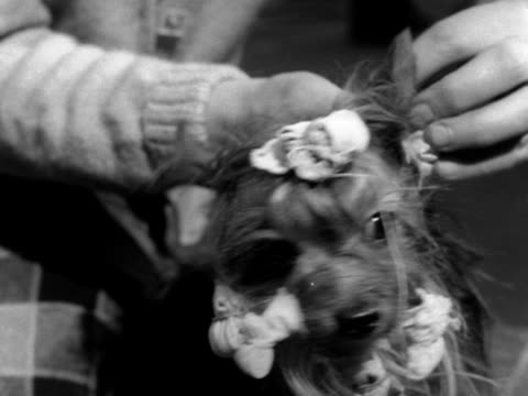 Ribbons are tied in the hair of a Yorkshire terrier at the Crufts dog show