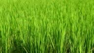 HD: Rice crop under the wind