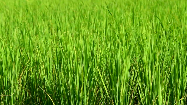 HD: Rice crop under the wind
