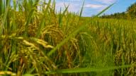 WS Rice Field In Bali