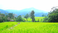 Rice fields in mountain areas.