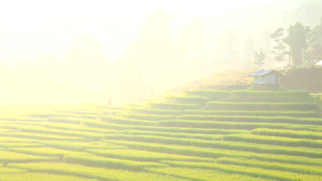 Rice fields on mountain in morning.