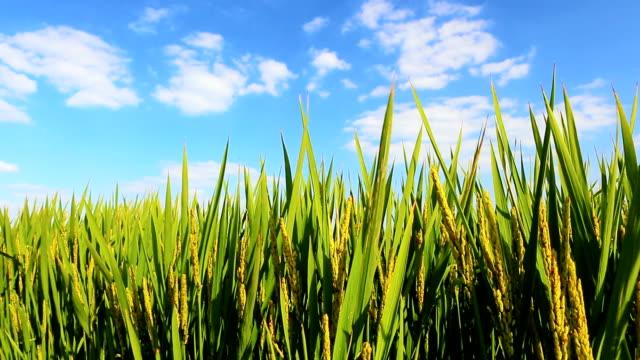 Rice Paddies in Wind