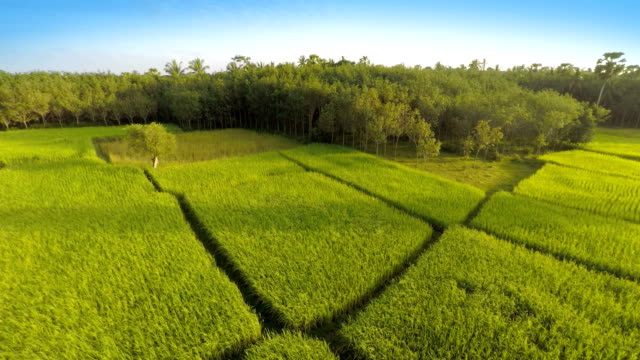 Reisfeld in den Morgen