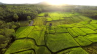 Rice paddy in the morning