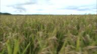 Rice Rice farming, Agriculture Asahikawa City Hokkaido